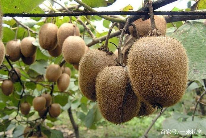 农民不出门打工,在家种植这种水果,亩产5千斤净赚23万