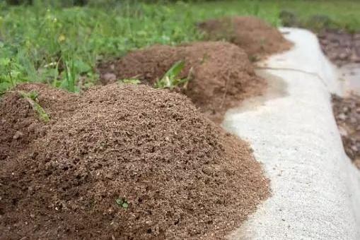 行军蚁和红火蚁谁更强?这种行军蚁在红火蚁面前不堪一击