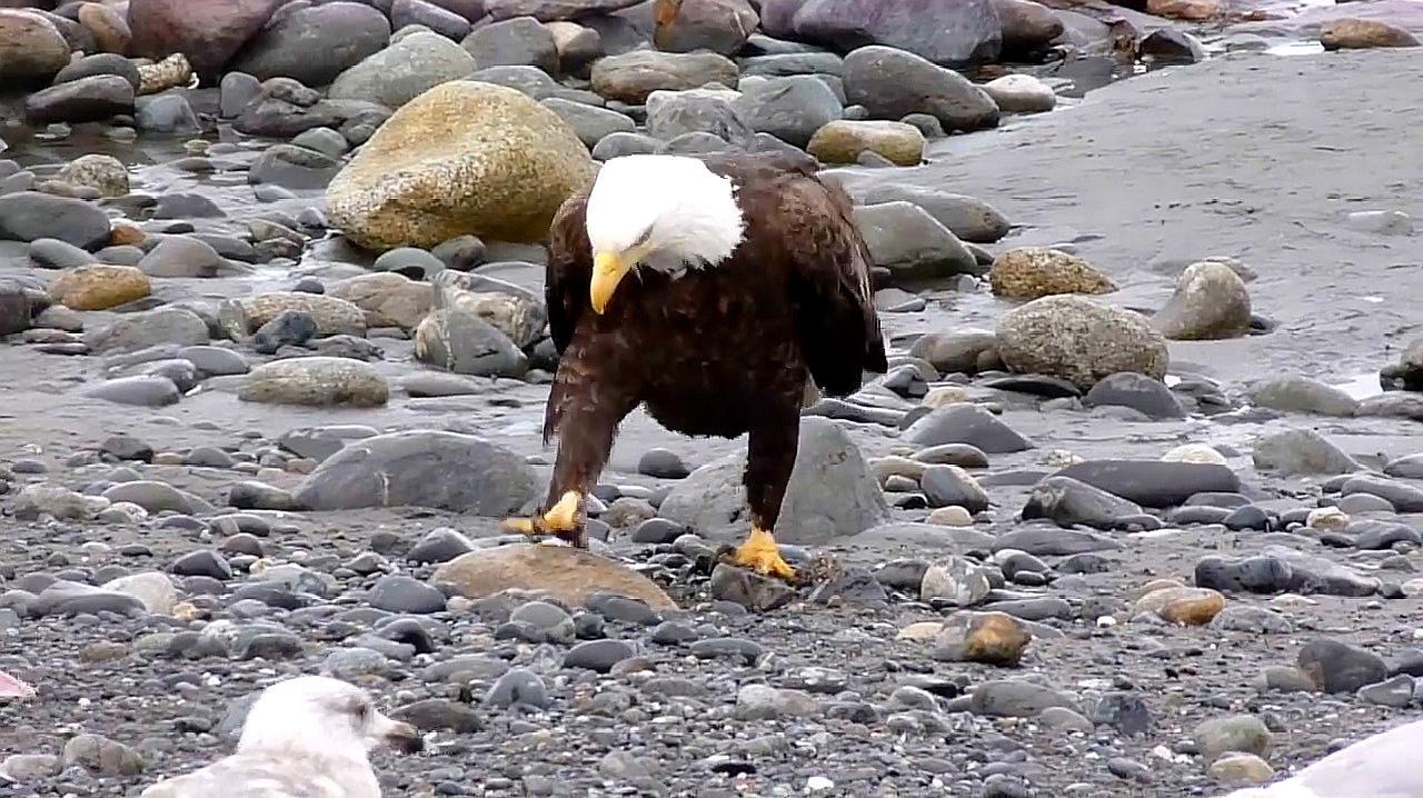 碰到一只接地气的老鹰,走路姿势魔性,像一位背着双手遛弯的大爷