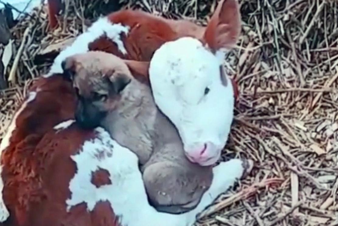 小狗冬天怕冷,趴在牛怀里取暖,狗:抱团才能暖和……