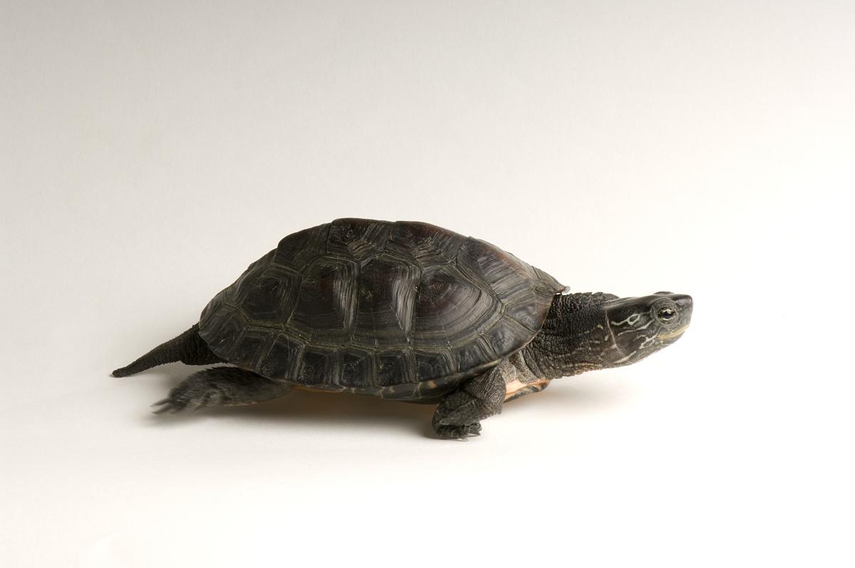 ag游戏直营网|平台知识科普,小编带你了解黑颈乌龟