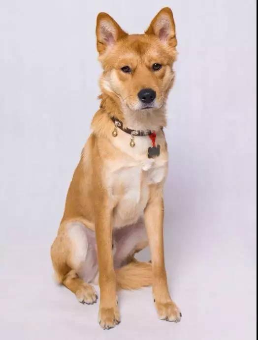 《天使不再流浪》Vol91:我家老二是田园犬,有着不接受反驳的帅