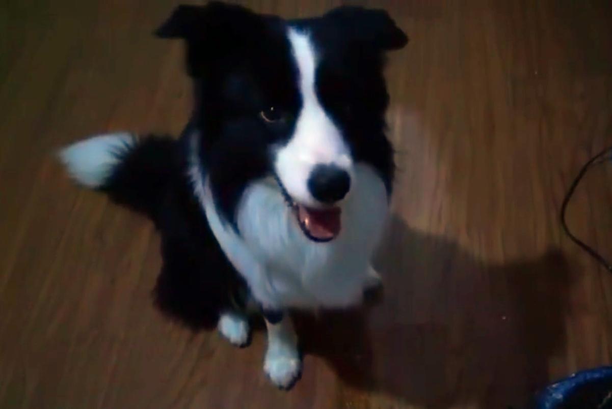 边牧想吃甘蔗,故意把球吐在垃圾桶旁,狗:我只是想捡个球……