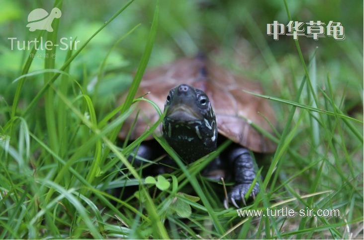 是典型的水陆两栖性动物,因为这样的乌龟是用肺部呼吸的,外表又有甲片
