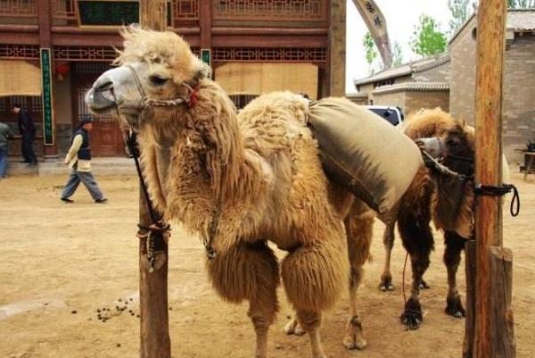 成吉思汗的墓到底在哪?当这只母骆驼死了,就再也找不到了