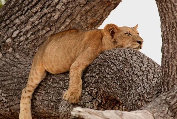 狮子会爬树吗?它们的爬树水平怎么样?