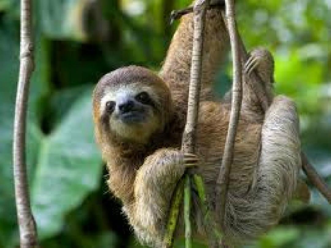 解析树懒行为迟缓为何能在自然界中安稳的生存下来,没被天敌吃掉