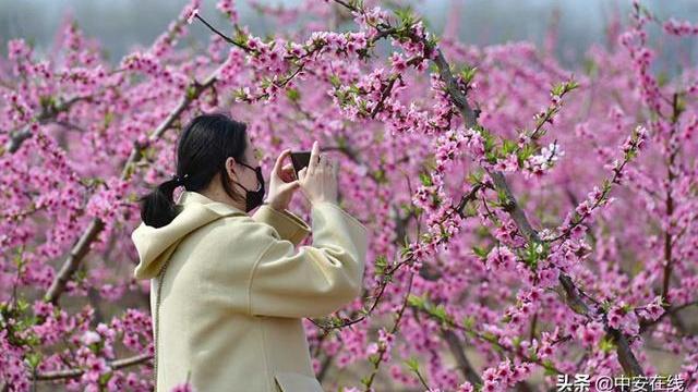 肥东洛神花海响导桃花节开幕