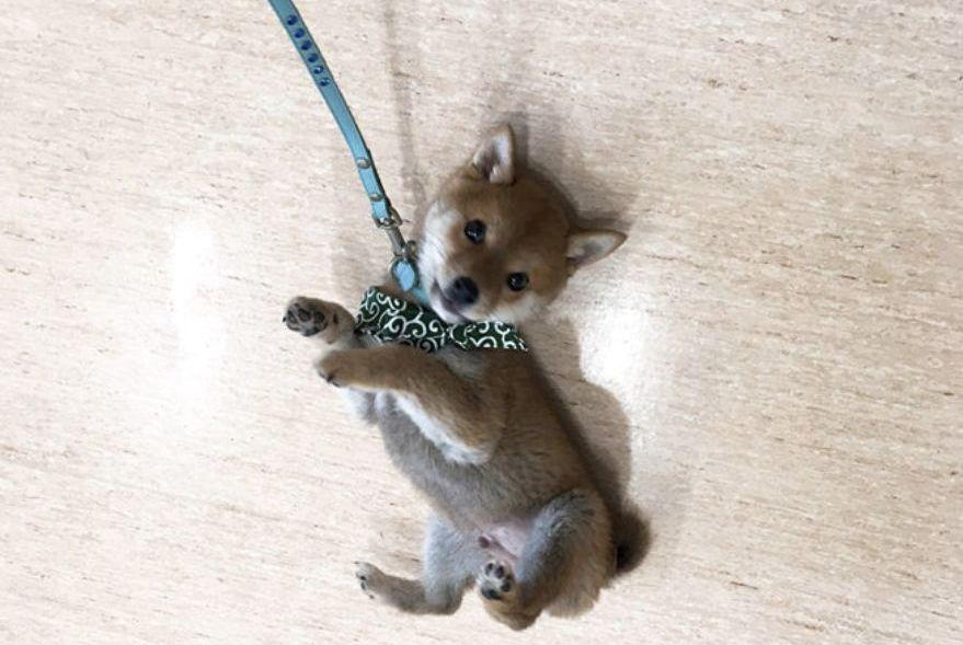 小柴犬第一次出门,它倒在地上耍赖,网友:萌翻了
