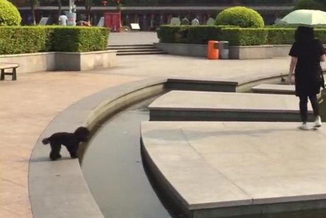 主人越走越远,小泰迪着急一跳,不慎掉进水里,狗:主人别丢下我