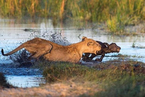 狮子和野牛的惨烈战斗:老母狮率众捕食小牛,惨被母牛顶死