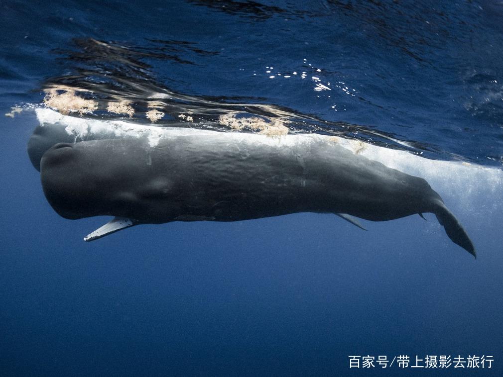 殉情的抹香鲸