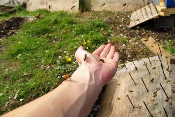 警惕!男子在自家被数百只蜜蜂围攻,疯狂蜇咬致死,只因这一举动…