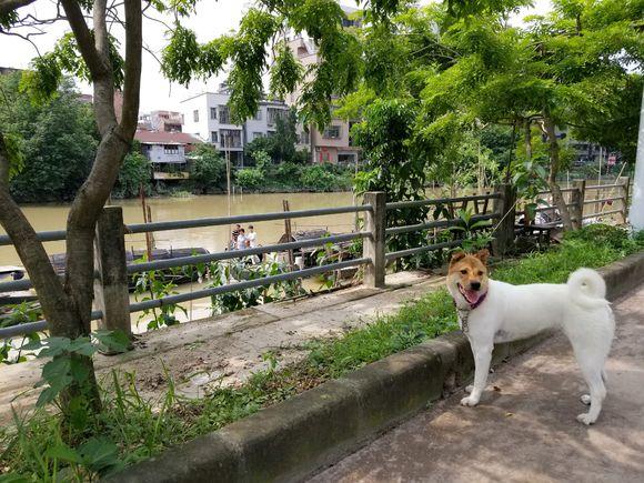 土狗对自己的白毛很满意,在河边喝水时发现自己的脸……