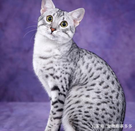 埃及猫的发展起源,你知道吗?
