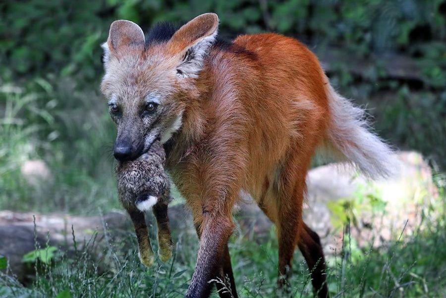 南美最大的犬科动物:身材高挑最爱吃素,常被美洲狮和美洲豹欺负