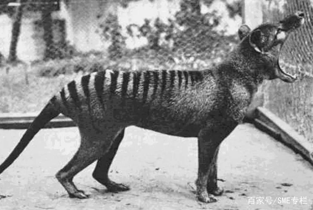 灭绝得最冤的物种,它们被误认为是杀羊贼,惨遭欧洲人的团灭