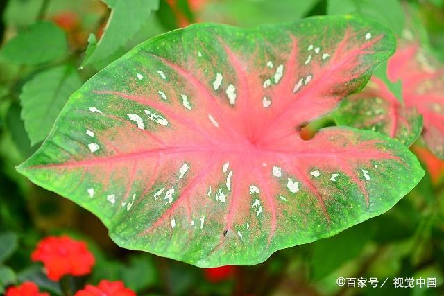 五彩芋的基生叶盾状箭形或心形,色泽美丽,变种极多;佛焰苞绿色,上部绿图片