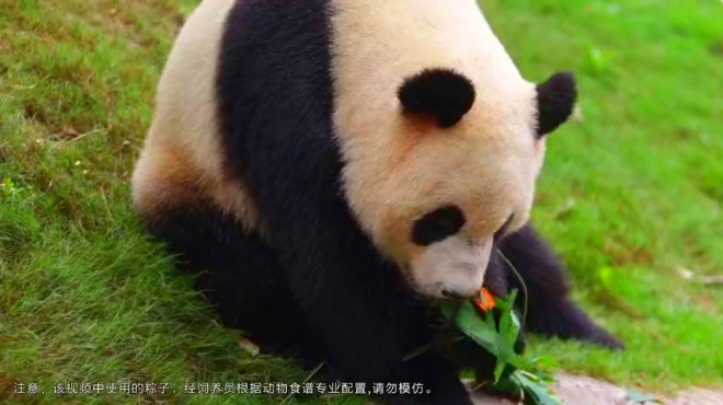 搞笑视频 熊猫三胞胎吃粽子比赛 看完我只想出门买粽子 动物圈