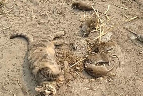 狸花猫抓了一堆老鼠,它吃饱了就睡觉,网友:真会享受啊