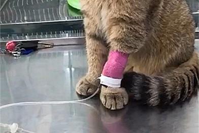 猫咪生病输液,结果爪子都被输大了,主人:你的jio……变好大啊