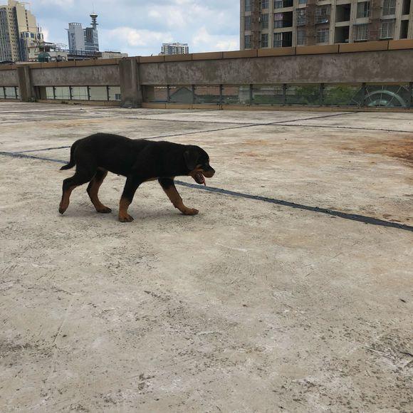 罗威纳很凶悍?并不是,这只小罗怂到家了,大狗一叫它就夹尾巴