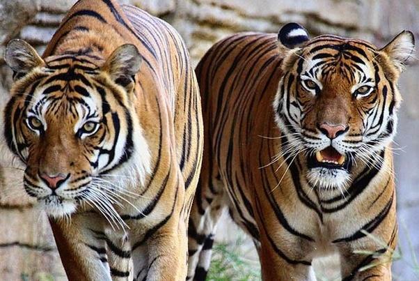 老虎和大象对战,谁赢的可能性大?理性分析其中因素