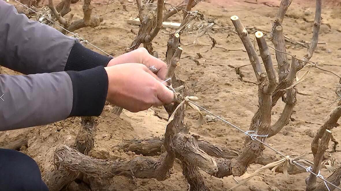 正确的葡萄绑条法您了解吗?