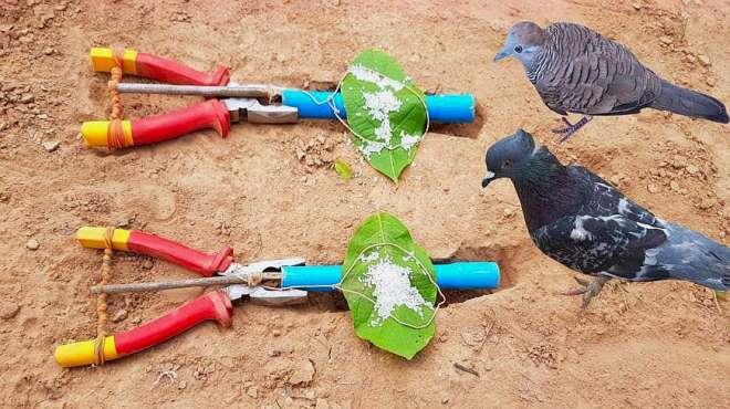 两把老虎钳子,一根细绳,一把大米,野鸽不知觉被抓到手