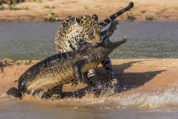 美洲豹为什么能捕杀鳄鱼,看看美洲豹的咬合力你就明白了