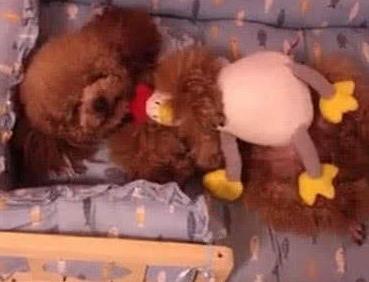 泰迪在睡觉的时候,主人想要把它的玩具拿走,结果一醒就咬人