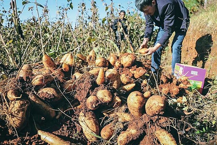 """别种生姜了,这种地下""""水果""""亩产8千斤,价值不亚于人参"""