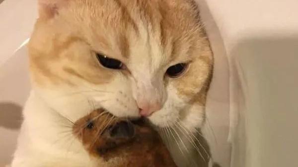 网友给猫养了只仓鼠宠物,猫很喜欢,每天都放在嘴边亲亲抱抱!