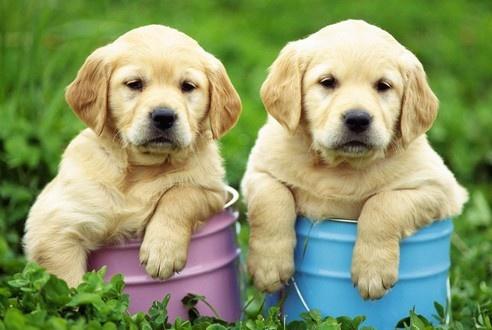 盘点世界上最适合家庭的5种狗狗,来看看你家狗子有没有上榜吧!