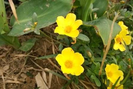 路边的小黄花,不仅能被写进歌词,还能止咳,一斤能卖五十块!