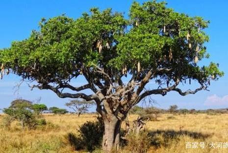 """这种树可以结出食用的""""腊肠"""",晚上开花凌晨凋零,蝙蝠帮它授粉"""