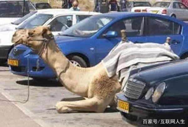 是什么推动了《沙漠骆驼》的社会传播——意境第9张-Myexplor