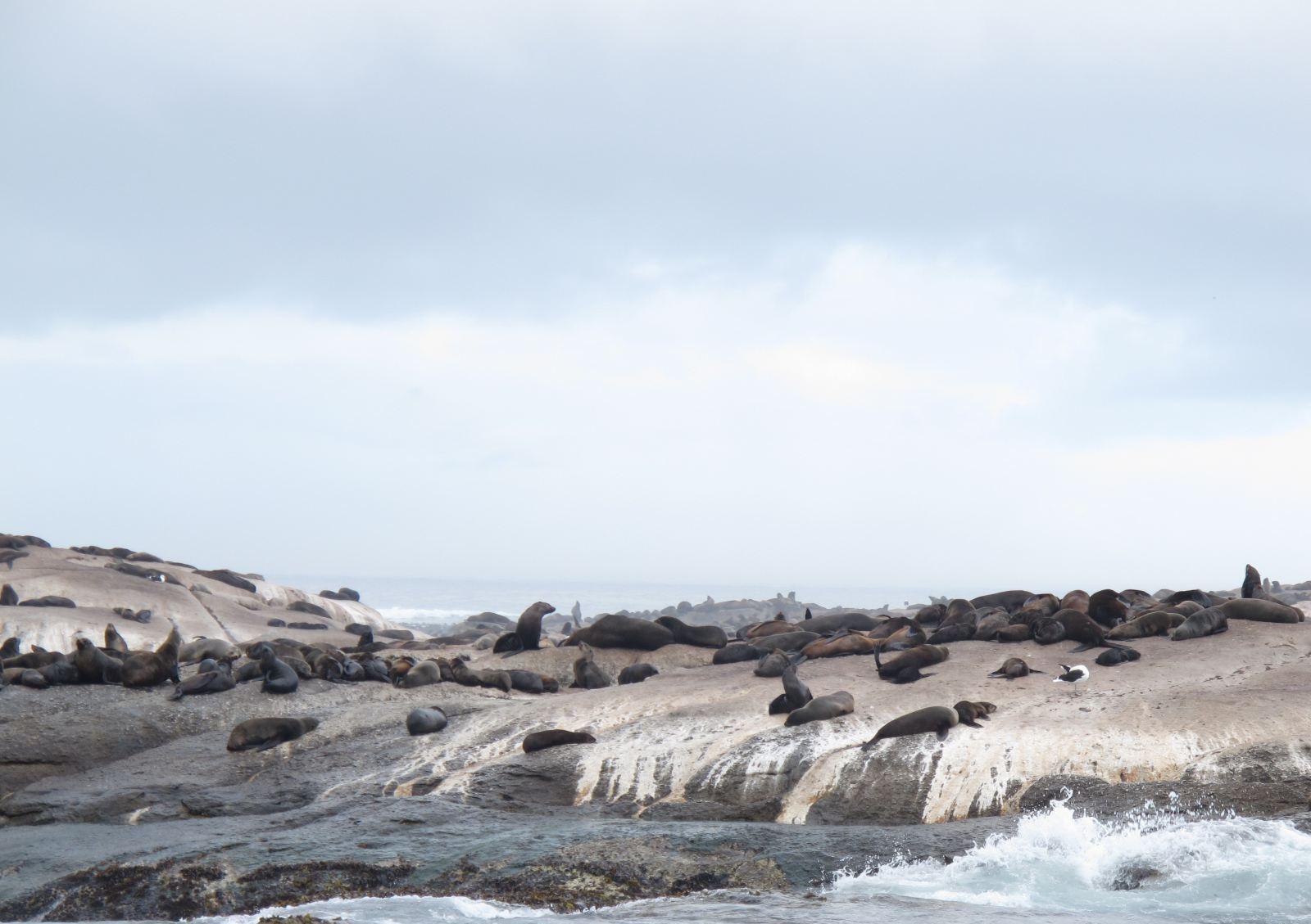 在游船上环岛游览南非海豹岛,观看上千只的海豹,海鸥