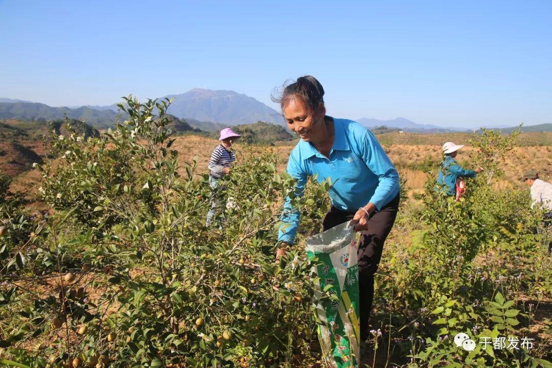 罗江乡西岗村贫困户张代发正在整理刚从山上摘回的茶籽.