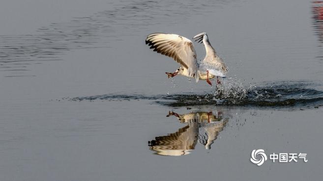 哈尔滨松花江畔红嘴鸥展翅飞翔
