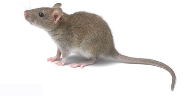 十二生肖老鼠对应的五行,进来算算你的