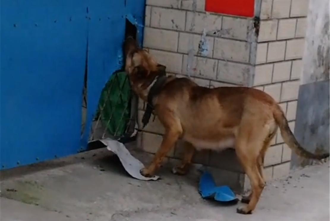 狗崽被锁院内,母狗咬破铁皮拼力进院喂食,网友:母爱伟大……
