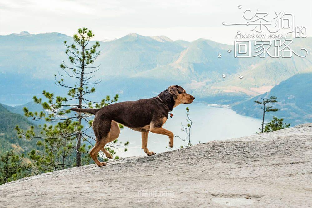 《一条狗的回家路》预告 狗狗生死逃亡