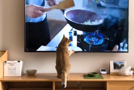 看到电视机里的人在做饭,猫咪跟着抓来抓去,简直要被馋坏了!