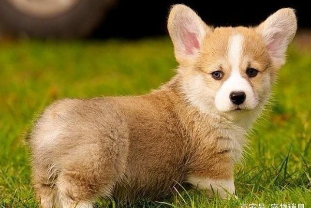 5种适合新手宠主饲养的狗狗,活泼亲人好养活,有你喜欢的吗?