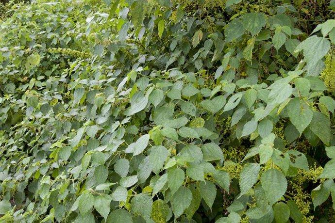 若这种植物长在你家地边请珍惜,称为千年不烂软黄金,中国国宝