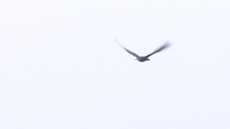 【刷新纪录!这届观鸟赛3小时观测到54种鸟种 】11月2日,2019年野鸭湖第十八届北京高校观鸟赛如期举行。23支来自首都高校和中小学校的爱鸟志愿者参与其中,通过近三个小时的观测记录,参赛队员们共观测并记录鸟种54种,还十分幸运地观测到国家Ⅱ级保护鸟类白尾鹞和青头潜鸭。至尊鸟种红胸秋沙鸭。最终确定4个鸟种(灰林䳭、半蹼鹬、黑脸琵鹭、暗灰鹃鵙)为野鸭湖2018年鸟类分布新纪录。