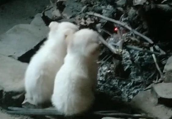 天气很冷,有两只小土狗在火堆前烤火,样子真是太萌了