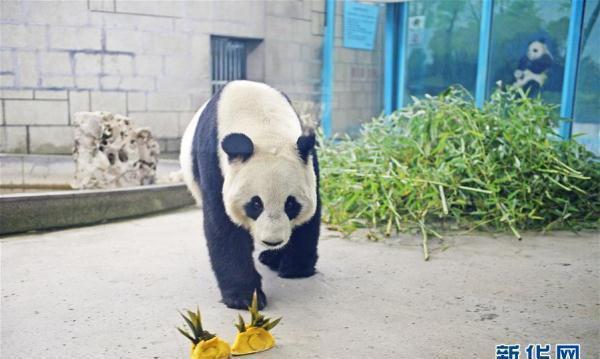 """2月2日,天津动物园的大熊猫准备吃""""饺子"""". 新华社发(史淞予 摄)"""