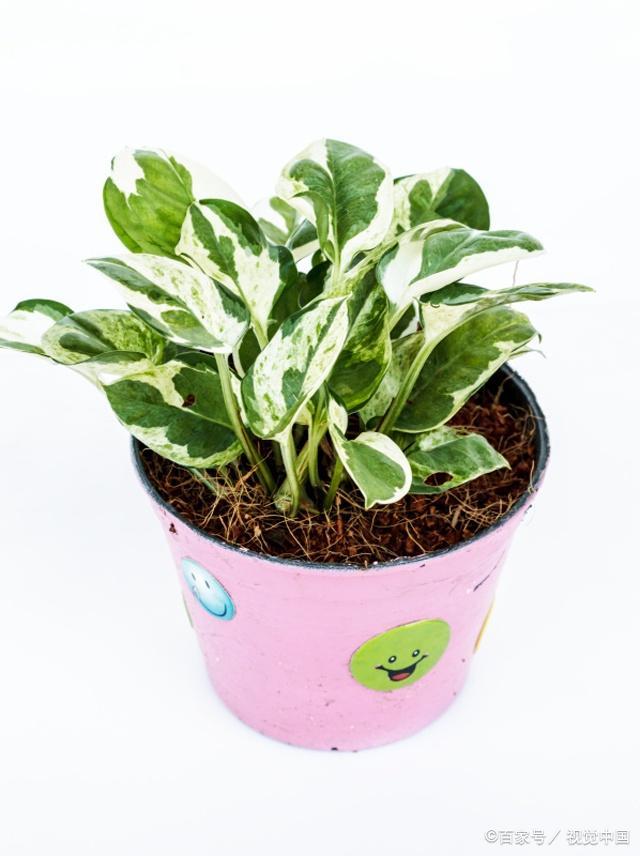 常见的十大室内观叶植物,室内观叶植物习性不同养护有差异